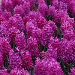 Hyacinths sold by De Vroomen Garden Products