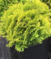 Linnaea Nurseries wholesale plants