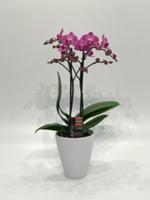Cosmic Plants Wholesale Flower Orchids.png