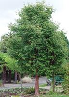 Kato's Nursery Tree.png